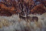 Two mule deer stand alert in a clearing in Grand Teton National Park, Wyoming.