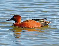 Adult male cinnamon teal in breeding plumage