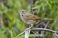 Lincoln's Sparrow (Melospiza lincolnii). Deschutes County, Oregon. May.