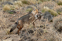 Grijze vos (Lycalopex gymnocercus)