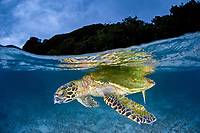 A Hawksbill turtle, Eretmochelys imbricata, rests at the surface near a beach just before dark. This species is critically endangered. Wayag, Raja Ampat, Papua, Indonesia, Pacific Ocean