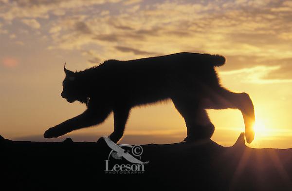 LYNX at sunrise. Spring. Rocky Mountains. North America.( Felis lynx canadensis).