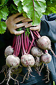A handful of freshly harvested 'Action' beetroot.
