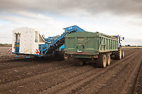 7-10-2021 Lifting potatoes in the Lincolnshire Fens <br /> ©Tim Scrivener Photographer 07850 303986<br />      ....Covering Agriculture In The UK....