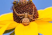 Ground Crab Spider (Xysticus ferox)