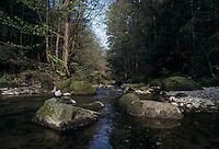 White-throated Dipper, Cinclus cinclus,adult in river habitat, Oberaegeri, Switzerland, April 1995
