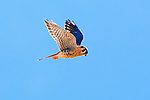 A kestrel hovers in a bright blue Montana sky