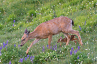 Columbian black-tailed deer (Odocoileus hemionus columbianus) doe and fawn walking through subalpine meadow covered with lupine and bistort wildflowers.  Pacific Northwest.  Summer.  Note:  Fawn is copying the exact pace/step of its mother.