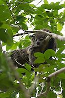 The Binturong  (Arctictis binturong), also known as the  Asian Bearcat, the Palawan BearcatPalawan