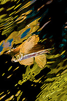 Flying Fish at the surface, North Raja Ampat Indonesia