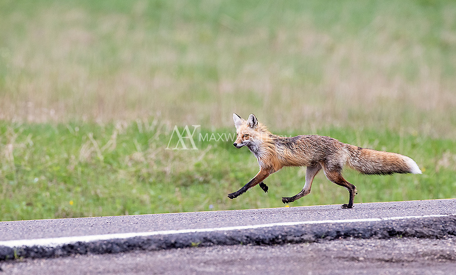 We were fortunate to encounter a few foxes both inside and outside the park on this trip.