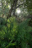 GERMANY, Ruegen, forest with  farning / DEUTSCHLAND, Mecklenburg-Vorpommern, intakter Wald, Laubwald mit Farn