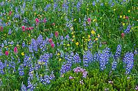 Wildflowers--lupine, arnica, paintbrush and heather--in subalpine meadow, Mount Rainier National Park, WA.  Summer.