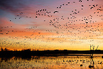 Snow Goose (Chen caerulescens) flock taking flight from night roosting ponds at sunrise, Bosque del Apache National Wildlife Refuge, New Mexico