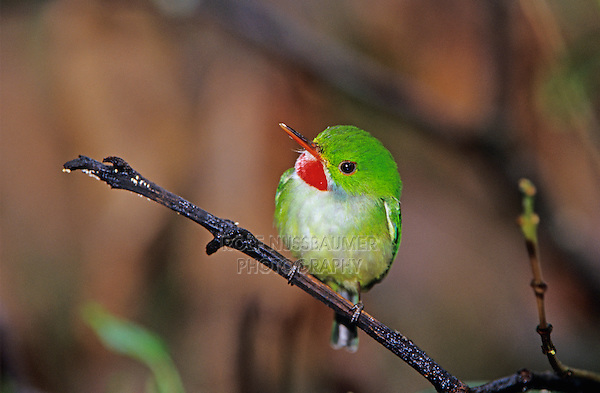 Jamaican Tody, Todus todus,adult, Blue Mountains, Jamaica, Caribbean