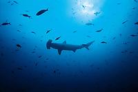 Cocos Island Hammerhead, scalloped hammerhead shark, Sphyrna lewini., Cocos Island, Costa Rica, Pacific Ocean