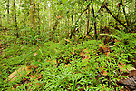 Cakar Ayam (Selaginella doederleinii) ground cover in lowland rainforest, Tawau Hills Park, Sabah, Borneo, Malaysia