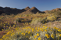 Desert in bloom with Brittlebush (Encelia farinosa),Yellow Cups (Camissonia brevipes), Arizona lupine (Lupinus arizonicus) , Joshua Tree National Park, California, USA