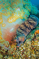 Dragon moray, Enchelycore pardalis, soft coral, Dendronephthya sp. Futo, Sagami bay, Izu peninsula, Shizuoka, Japan, Pacific Ocean