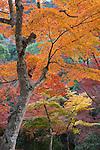 Japan, Chūgoku (Southwest Honshu), Hiroshima Prefecture, Miyajima Island: Maple trees in Autumn at Momijidani Park (Japanese Maple Park) | Japan, Chūgoku (Suedwest Honshu), Praefektur Hiroshima, Miyajima Island: Herbstfarben im Momijidani Park (Japanischer Ahorn Park)