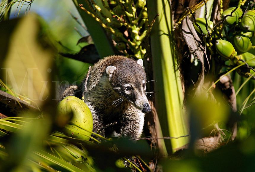 White-nosed Coati (Nasua narica) Manuel Antonio, Costa Rica