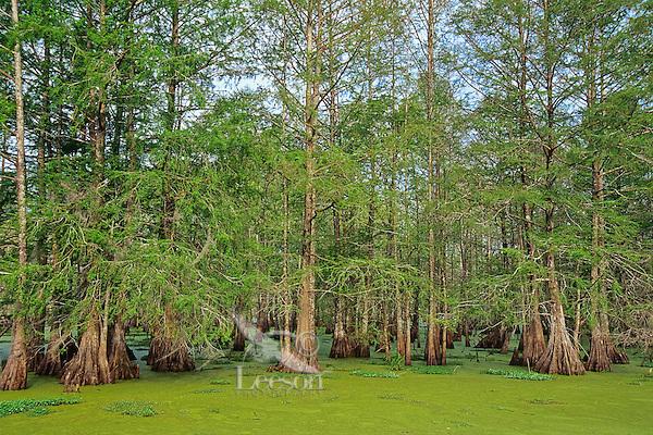 Baldcypress swamp (water covered mostly by duckweed), Atchafalaya Basin, Louisiana.  April.<br /> (Lake Martin)