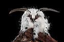Puss Moth {Cerula vinula}, showing antennae, Derbyshire, UK. May