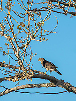 A Cooper's Hawk, Accipiter cooperii, perches in a tree in Sacramento National Wildlife Refuge, California