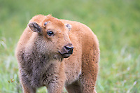 """Bison calves are nicknamed """"little red dogs."""""""