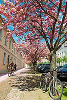 Kirschblüte in Potsdam, Brandenburg, Deutschland