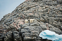 polar bear, Ursus maritimus, mother and cub, Baffin Island, Canada
