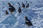 Steller's Sea Eagles, Hokkaido, Japan