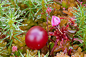 Cranberry (Vaccinium oxycoccos) flower and fruit growing in blanket bog. Glen Affric, Scotland. October.
