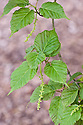 New young foliage and flowers of red snake-bark maple (Acer capillipes), late March.
