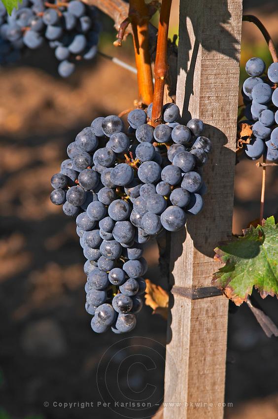 Ripe bunches of  Merlot grapes at Chateau la Grave Figeac, Saint Emilion, Bordeaux - Chateau La Grave Figeac, Saint Emilion, Bordeaux