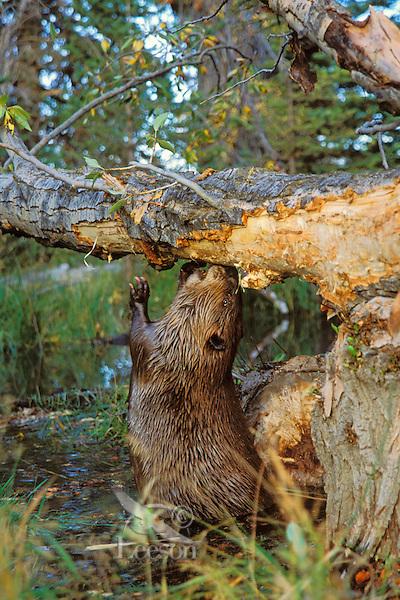 American Beaver (Castor canadensis) eating bark off cottonwood tree it has fallen.