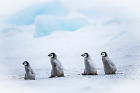 Snow Hill Island, Antarctica. Emperor penguin chicks dare to adventure away from the colony.
