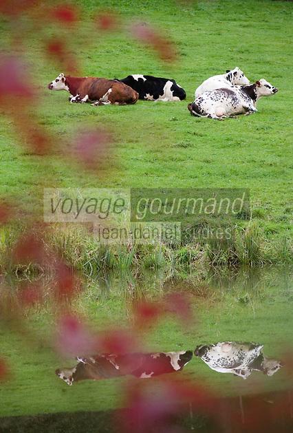Europe/France/Normandie/Basse-Normandie/14/Calvados/Pays d'Auge/Env de Beuvron-en-Auge: Vaches Normandes en paturage
