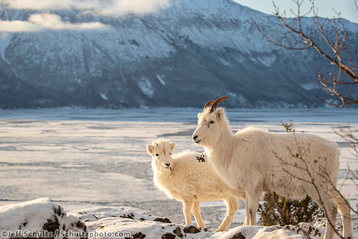 A Dall sheep ewe and lamb pause in fresh snow on a cliff above Turnagain Arm in Chugach State Park.  The Kenai mountains are in the background. Winter Southcentral, Alaska<br /> <br /> <br /> Photo by Jeff Schultz/  (C) 2020  ALL RIGHTS RESERVED
