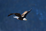 Bald Eagle (Haliaeetus leucocephalus) flying, Tule Lake National Wildlife Refuge, California