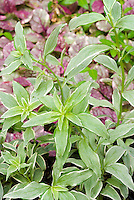 Antirrhinum Snapdragon Eternal variegated foliage leaves