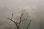 American kestral (Falco sparverius) perched at the top of a dead tree on a misty day, Rocky Mountain National Park, Colorado, USA