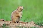 Prairie Dog Standing at Burrow