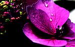 Macro exposure of hydrangia blossom center.