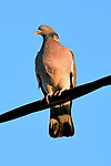"""Pictured:  REVEAL - With head!<br /> <br /> A dove looks on in wonder towards a 'headless' pigeon.  The wood pigeon appears to have lost its head when French photographer Romain Doucelin managed to capture this quirky shot.<br /> <br /> Romain, 22, who was photographing the birds in the village of Clonas-sur-Varèze in Isère, France as the sun was setting said, """"The bird on the left of the image appears to have lost its head as they rest on an electric cable.""""<br /> <br /> """"The turtledove which observes the headless pigeon looks very astonished.""""<br /> <br /> The pigeon had actually been preening itself which from the angle Romain was stood gave the illusion the bird had lost its head.<br /> <br /> Please byline: Romain Doucelin/Solent News<br /> <br /> © Romain Doucelin/Solent News & Photo Agency<br /> UK +44 (0) 2380 458800"""
