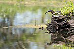 Damon, Texas; a green heron fishing in the slough while standing on a tree stump island in afternoon sunlight