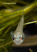 1S72-569z  Threespine Stickleback, Four week old Young, Gasterosteus aculeatus,  Hotel Lake British Columbia