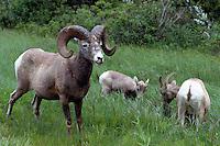 Rocky Mountain Bighorn Sheep Family - Ram, Ewe, and Lamb (Ovis canadensis) grazing in Meadow, Jasper National Park, Canadian Rockies, AB, Alberta, Canada