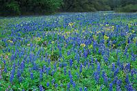 Texas Bluebonnet Texas Squaw-Weed, Natalia, Medina County,Texas, USA