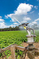 Irrigating potatoes with a raingun - Norfolk, June